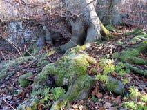 Fondo dell'estratto della foresta di autunno Le radici di vecchio albero fotografia stock