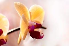 Fondo dell'orchidea giapponese gialla fotografie stock libere da diritti