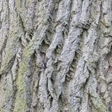 Fondo della corteccia di albero Immagine Stock