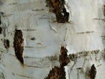 Fondo della corteccia di betulla Immagine Stock Libera da Diritti