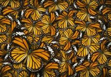 Fondo della farfalla di monarca Immagine Stock Libera da Diritti