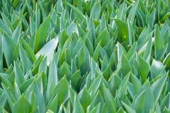 Fondo della foglia del tulipano Fotografia Stock