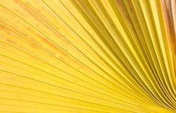 Fondo della foglia di palma dello zucchero immagini stock libere da diritti