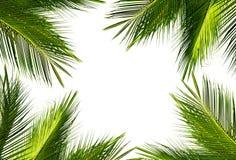 Fondo della foglia di palma verde della noce di cocco sul fondo bianco del cielo Immagine Stock