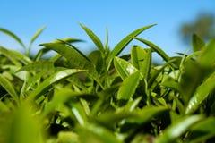 Fondo della foglia di tè Immagine Stock