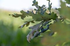 Fondo della foglia della quercia con i campi di grano Fotografia Stock