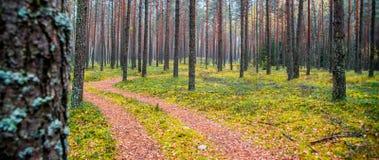 Fondo della foresta dei tronchi e del percorso di albero Immagini Stock
