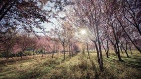 Fondo della foresta del fiore di ciliegia con il fuoco molle Fotografia Stock Libera da Diritti