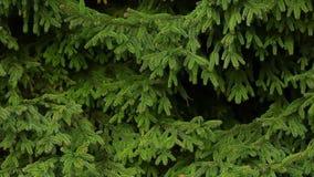 Fondo della foresta di estate dell'albero di abete video d archivio