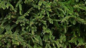 Fondo della foresta di estate dell'albero di abete stock footage