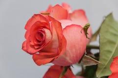 Fondo della luce della rosa di rosa Immagini Stock