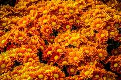 fondo della margherita arancio Immagine Stock Libera da Diritti