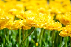 Fondo della molla dei tulipani Sfondo naturale luminoso dei tulipani gialli I fiori della sorgente si chiudono in su Fondo florea Immagine Stock