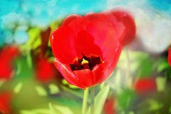 Fondo della molla della natura del giacimento di fiori dei tulipani fotografia stock libera da diritti