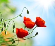 Fondo della molla della natura del giacimento di fiori del papavero fotografia stock libera da diritti
