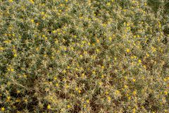 Fondo della natura dalle piante della spina con i fiori gialli Fotografie Stock