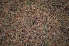 Fondo della natura degli aghi del pino Fotografie Stock Libere da Diritti