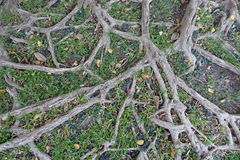 Fondo della natura della radice dell'albero fotografie stock libere da diritti