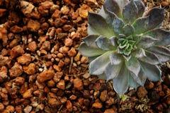 Fondo della natura delle rosette o della crassulaceae succulenti di Echeveria con ghiaia Immagine Stock Libera da Diritti