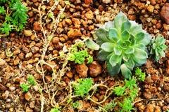 Fondo della natura delle rosette o della crassulaceae succulenti di Echeveria con ghiaia Fotografie Stock