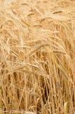 Fondo della natura di agricoltura della pianta del grano del grano Fotografia Stock