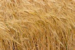 Fondo della natura di agricoltura della pianta del grano del grano Fotografia Stock Libera da Diritti
