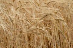 Fondo della natura di agricoltura della pianta del grano del grano Immagini Stock