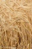 Fondo della natura di agricoltura della pianta del grano del grano Immagine Stock Libera da Diritti