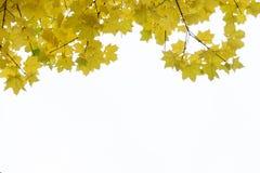 Fondo della natura di autunno con spazio libero per le foglie di acero arancio variopinte di autunno del testo contro il cielo di Fotografie Stock Libere da Diritti