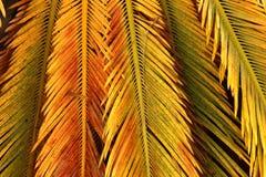 Fondo della natura - foglie della cycadaceae Fotografia Stock