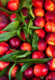 Fondo della nettarina - frutti organici freschi della ciliegia Comp. della pagina Fotografie Stock Libere da Diritti