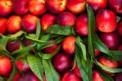 Fondo della nettarina - frutti organici freschi della ciliegia Comp. della pagina Fotografia Stock Libera da Diritti
