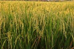 Fondo della pannocchia del riso, Tailandia Fotografia Stock