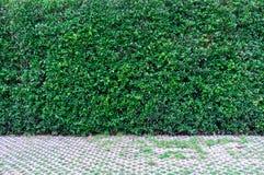 Fondo della parete delle foglie verdi e modo della passeggiata Immagini Stock