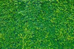 Fondo della parete delle foglie verdi, pianta sulla parete Fotografia Stock