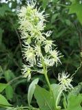 Fondo della pianta del prato: i piccoli fiori bianchi chiudono l'erba alta e verde Immagine Stock