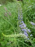 Fondo della pianta del prato: i piccoli fiori blu chiudono l'erba alta e verde Immagine Stock