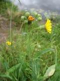 Fondo della pianta del prato: i piccoli fiori gialli chiudono l'erba alta e verde Immagini Stock Libere da Diritti