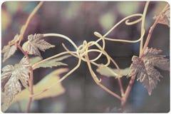 Fondo della pianta del vino Fotografie Stock