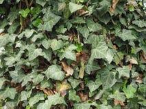 Fondo della pianta dell'edera Immagini Stock