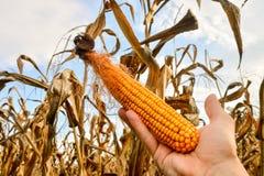 Fondo della pianta di cereale Immagine Stock