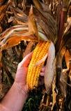 Fondo della pianta di cereale Fotografia Stock