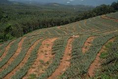 Fondo della piantagione dell'ananas nel Kerala, India immagini stock