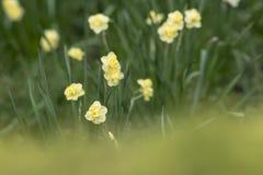Fondo della primavera con i fiori del narciso e l'erba verde immagine stock