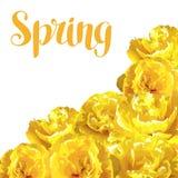 Fondo della primavera con i tulipani gialli lanuginosi Bei fiori e germogli realistici Immagini Stock