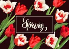 Fondo della primavera con i tulipani rossi e bianchi Bei fiori, germogli e foglie realistici Fotografia Stock Libera da Diritti
