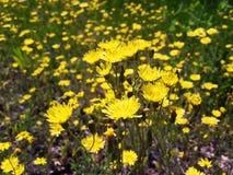 Fondo della primavera con i wildflowers gialli immagine stock