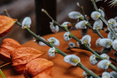 Fondo della primavera con il bello purulento-salice di primavera con il Ca Immagine Stock Libera da Diritti