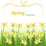 Fondo della primavera con il narciso giallo Immagini Stock