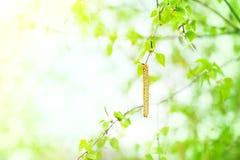 Fondo della primavera con le foglie ed i gattini della betulla Fotografia Stock